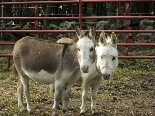 Cupcake, Dulce, Prissy Miniature Donkeys. Save Your Ass Long Ear Rescue