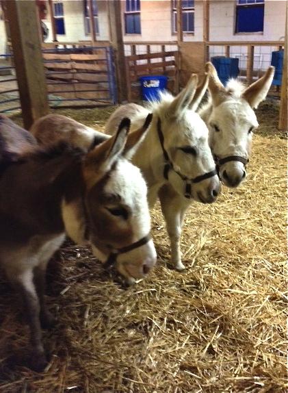 Mini donkeys. Foxfire Fiber