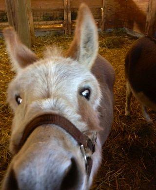 Nervous donkey. Foxfire Fiber