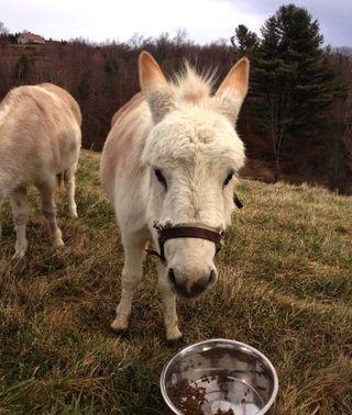 Dulce donkey. Foxfire Fiber