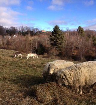 Sheep donkeys Foxfire Fiber