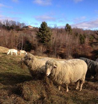 Sheep & donkeys. Foxfire Fiber