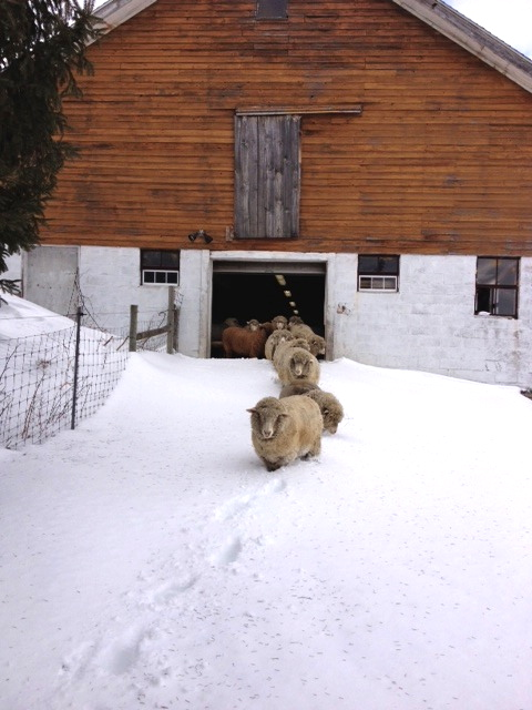 Winter sheep after the snow. foxfire fiber