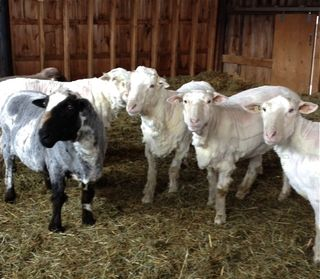 Rams after shearing. Foxfire Fiber