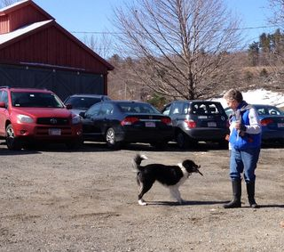 Meg, the Border Collie, fetches. Foxfire Fiber