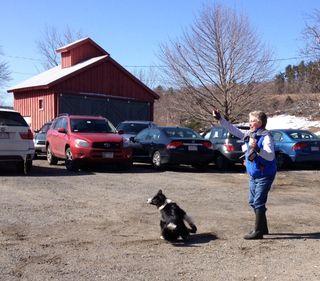Meg, border collie, chases sticks. Foxfire Fiber