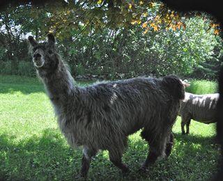 Crackerjack Grin at Strolling of Sheep. LLM. Foxfire Fiber