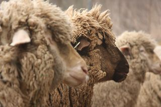 Kat Park's blue ribbon sheep photo, Pumpkin and Cognac.