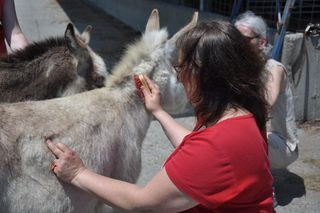 Brushing donkeys at Strolling of Sheep. LLM. Foxfire Fiber