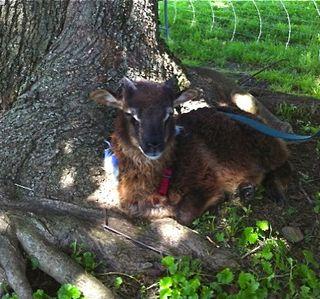 Pippin bottle lamb at Strolling of Sheep. Foxfire Fiber