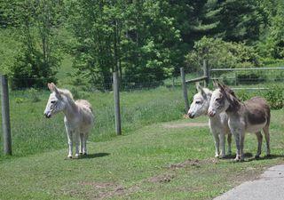 Curious donkeys at Strolling of Sheep. LLM. Foxfire Fiber