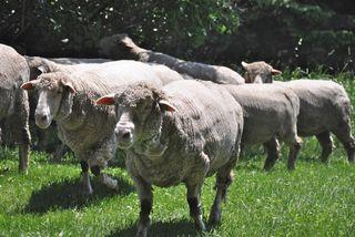 Sheep closeup at Strolling of Sheep. LLM. Foxfire Fiber