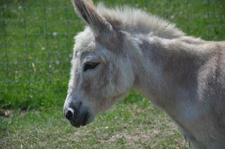 Prissy donkey at Strolling of Sheep. LLM. Foxfire Fiber