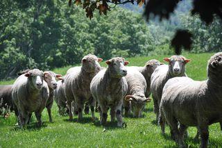 Sheep stroll at Strolling of Sheep. LLM. Foxfire Fiber