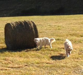 Dogs in hayfield. Foxfire Fiber