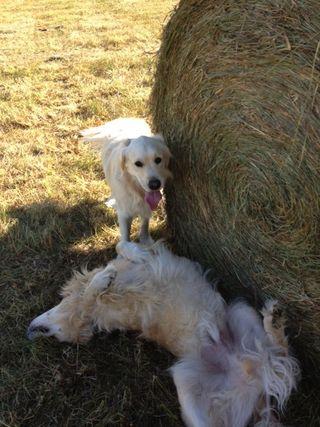 Zoe, Farley with giant bale. Foxfire Fiber