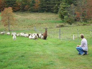 Fiber Foliage & Friends. Sheep & llama. Foxfire Fiber. Barbara Parry. Adventures in Yarn Farming