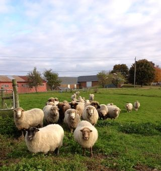 Flock fall day. Foxfire Fiber. Barbara Parry. Adentures in Yarn Farming