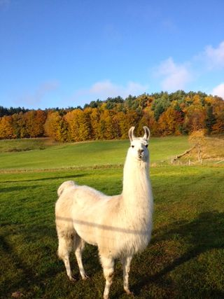 Llama Caitlyn. Barbara Parry. Foxfire Fiber & Designs. Adventures in Yarn Farming