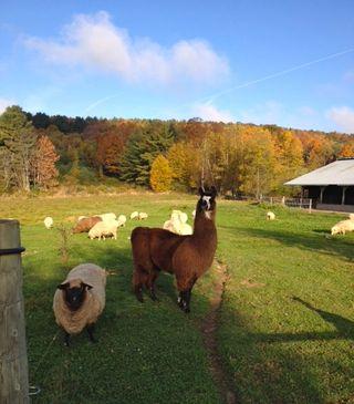 Llama Sol Fall. Barbara Parry. Foxfire Fiber & Designs. Adventures in Yarn Farming