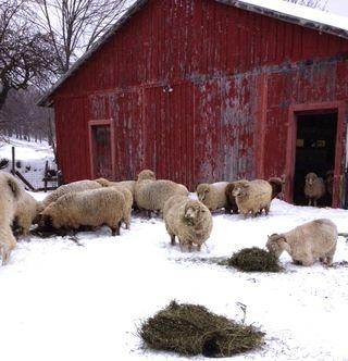 Sheep in winter. Adventures in Yarn Farming. Foxfire Fiber. Barbara Parry. fiber farm. sheep farm