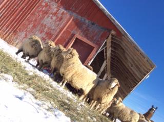 Sideways sheep. Foxfire Fiber. Barbara Parry