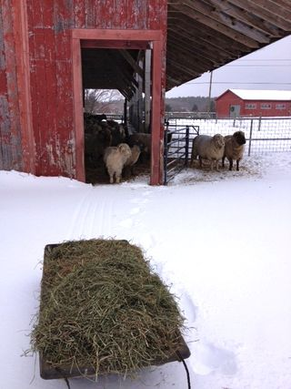 Feeding sheep on snow. Adventures in Yarn Farming. Barbara Parry. Yarn Farm. Fiber Farm. Cormo Sheep. Sheep Farm