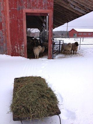 Feeding sheep on snow. Adventures in Yarn Farming. Barbara Parry. Yarn Farm. Fiber Farm. Cormo Sheep. Sheep Farm