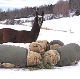 Sol llama & his sheep. winter. Foxfire fiber