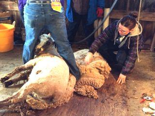 Andy, Kat shearing Latte. shearing day 2014. Foxfire Fiber