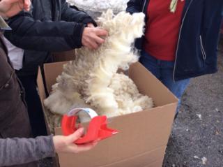 Boxing wool. Shearing Day 2014. Foxfire Fiber