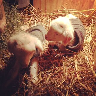 Cormo twin lambs in sweaters. Foxfire Fiber