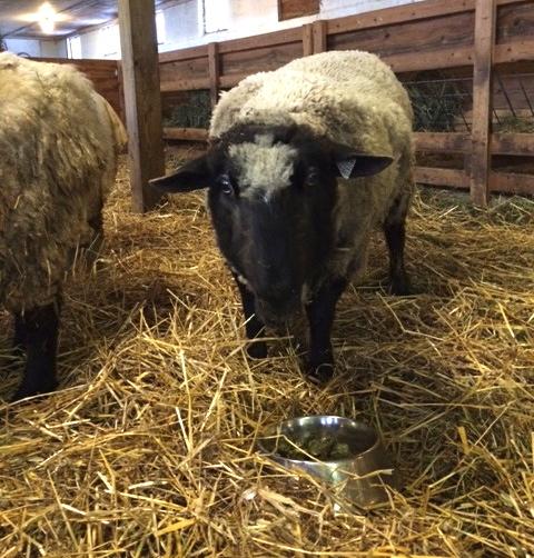 Cocoa. a very old ewe. Barbara Parry. Foxfire Fiber