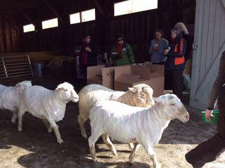 Sheep exit barn. Shearing Day 2014. Foxfire Fiber