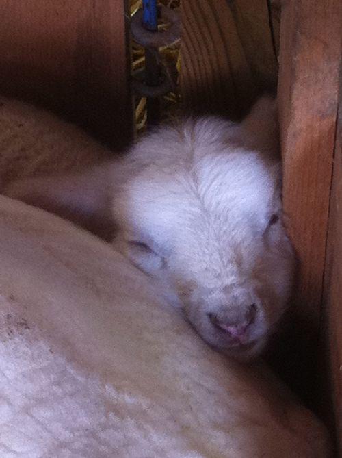 Wee lamb. Foxfire Fiber