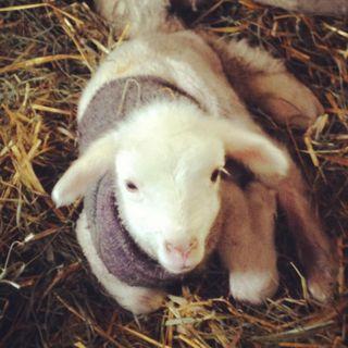 Cormo ewe lamb. Foxfire Fiber