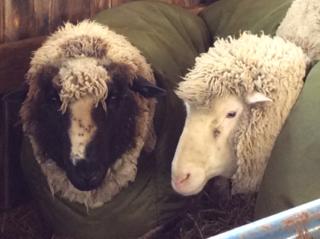 Cilantro, Issey. Shearing day 2014. Foxfire Fiber