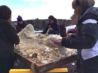 Skirting table helpers. Shearing Day 2014. Foxfire Fiber