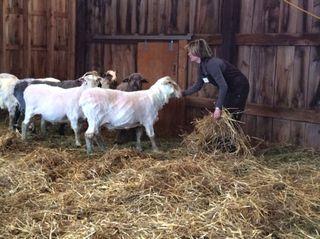 Spreading Bedding. Shearing Day 2014. Foxfire Fiber