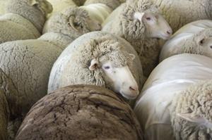 Sheep_huddle