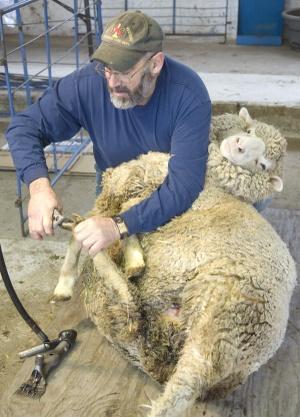 Sheep_pedicure