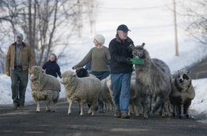 Sheep_procession_4