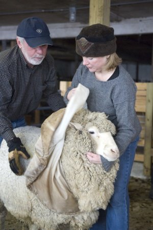 Sheep_uncovered