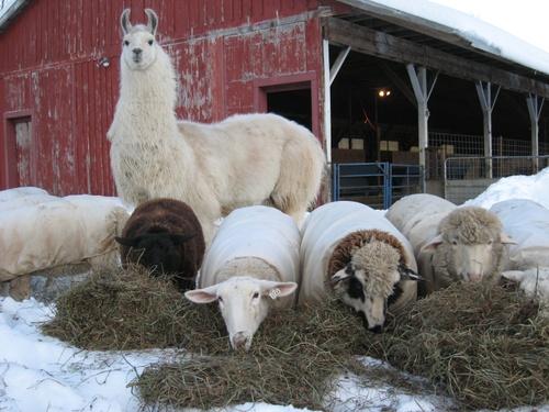 Cate_sheep_winter_breakfast