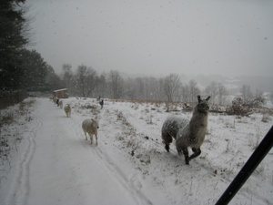 Cracker_sheep_marching_in_snow