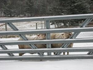 Winter_sheep_at_gate
