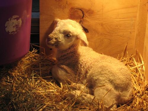 Lamb_baby_boss