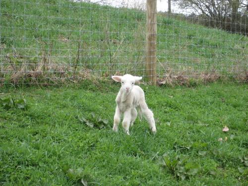 Lamb_in_pasture